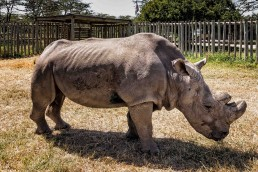 Sudan, the last male Northern white rhino in the world, Ol Pejata Conservancy in Kenya.