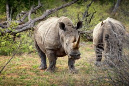 White rhinos in Klaserie Private Game Reserve in South Africa.