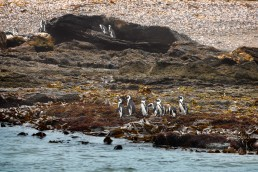 African penguins on Halifax island, Namibia