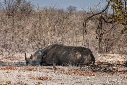 Sleepy black rhino in Etosha National Park, Namibia.
