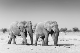 The bachelors of Etosha, Namibia.