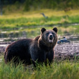 growling-male-brown-bear-kuusamo-finland