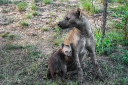 A spotted hyena with a cub in Kruger National Park, South Africa.