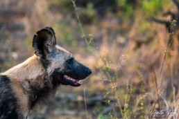 African Wild Dog's profile in Kruger National Park, South Africa.